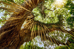 Tree of Life (StephanieGreerPhotography.com) Tags: maui hawaii stephaniegreer stephaniegreerphotography rainforest tree trees canon forest banyan sun perspective nature green foliage tropical life jungle environment aloha