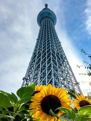 2017 Tokyo summer (shinichiro*@OSAKA) Tags: 墨田区 東京都 日本 jp 20170717img8196 2017 crazyshin appleiphone7plus iphone july summer tokyo japan tokyoskytree sunflower flower macro 35176343834 candidate