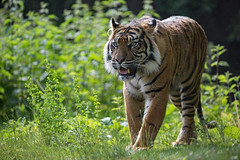 Sumatratiger (Mel.Rick) Tags: burgerszoo tiere natur raubkatzen tiger sumatratiger pantheratigrissumatrae raubtiere groskatzen