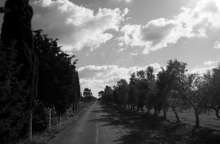 Olive groves and birds