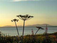 Maryport_sundown_1617 (allybeag) Tags: maryport harbour sunset sundown sky clouds silhouette hogweed wildflower criffel solway