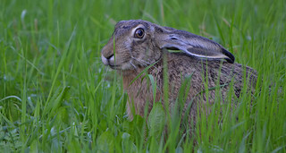 - I see you! � European hare near my home, on the field. Wildlife in Finland. Summer. Animal.