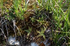 Pinguicula vulgaris (◄Laurent Moulin photographie►) Tags: pinguicula vulgaris grassette vulgaire lac des rouges truites jura situ plante carnivore carnivorous plant