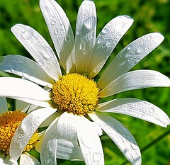 Daisy (braneback) Tags: daisy flower nature summer sweden dew morningdew white yellow