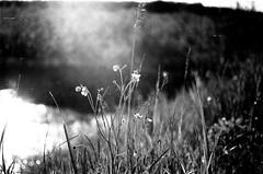 Sunshine on the northern herbs (VelannaRay) Tags: bw beauty blackandwhite film filmphoto flower field herbs shine sunshine sun summer summertime sunny grass mood monochrome magic nature outdoor пленка природа пейзаж поле свет солнце лето волшебство чб чернобелое чудо атмосфера настроение травы тайболафестиваль