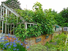 Invasion of the Fig Trees (ttelyob) Tags: garden greenhouse figs fig figtree bordehill picmonkey