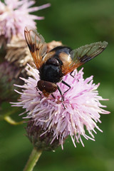 fly and thistle (201/365) (werewegian) Tags: hoverfly thistle bug fly wildflower werewegian city jul17 365the2017edition 3652017 day201 20jul17 insect macro