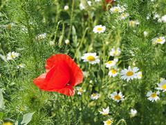 Mak maki Mak-polny czerwone-maki kwiaty-polne Mohn Mohnblumen (arjuna_zbycho) Tags: mak maki makpolny czerwonemaki kwiatypolne mohn mohnblumen coquelicots pavots popyflower popy klatschmohn papaverrhoeas mohnblume klatschrose cornpoppy cornrose fieldpoppy flanderspoppy redpoppy redweed közönségespipacs vetésipipacs papaverocomune rosolaccio gatunekleczniczy heilpflanze hausmittel kwiat blume flower fleur popies fleurs natur flora