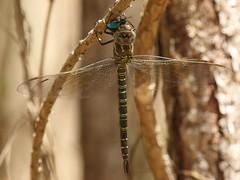Swamp Darner (Epiaeschna heros) Female with Six-spotted Tiger Beetle (Cicindela sexguttata) (Rezamink) Tags: epiaeschnaheros swampdarner dragonflies odonata usa sixspottedtigerbeetle cicindelasexguttata