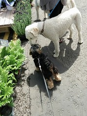 Flo Yorkie Poo Dog and Another Dog at the market Oakham Rutland (@oakhamuk) Tags: flo yorkiepoo dog another market oakham rutland