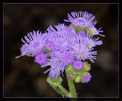 Mauve Frills (tresed47) Tags: 2017 201707jul 20170705longwoodflowers ageratum canon7d chestercounty content flowers folder july longwoodgardens macro pennsylvania peterscamera petersphotos places ringflash season summer takenby technical us