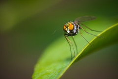 Long-Legged Fly (heeeerod) Tags: fly insect flight predator einged texas bug macro nikkor nikon d750 closeup yongnuo