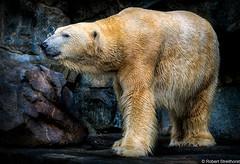 Original Bell Bottoms (Robert Streithorst) Tags: bear cincinnatizoo polarbear robertstreithorst zoosofnorthamerica