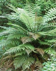 Dicksonia squarrosa (greggys stuff) Tags: dicksoniasquarrosa clynegardens clyne