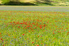 La Fioritura (The Flowering) (MikePScott) Tags: buttercups camera castelluccio clover flowers hills italia italy lens mountains nikon2470mmf28 nikond800 norcia plain plants poppies topography umbria
