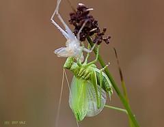 Out of cocoon (Greet N.) Tags: animal insect green macro tettigoniaviridisima grasshopper