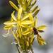 Asphodeline lutea; Asphodelaceae (1)