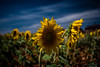 Los Girasoles / The Sunflowers