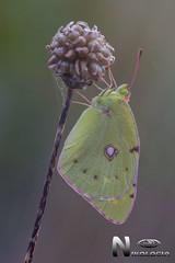 Colias crocea (Geoffroy, 1785) (Nikologia) Tags: lepidoptero macrofotografia macro mariposa insecto colias crocea sigma105mm