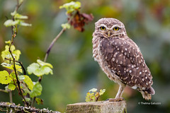 Another Burrowing Owl in a vineyard... (Thelma Gatuzzo) Tags: buho thelmagatuzzo chouettedesterriers riograndedosul owl oiseaux nature ave thelmagatuzzo© kaninchenkauz lechucitavizcachera vinhedo burrowingowl lechucitadecampo voegel brasil wildlife lechucitapampa 2017 thelmagatuzzophotography© bentogonçalves steenuil silvestre raptor chevêche des terriers coruja litteowl fauna athenecunicularia corujaburaqueira athene cunicularia chevêchedesterriers