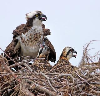 Osprey & Offspring
