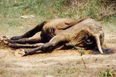 Half-Eaten Horse Carcass (AdamCohn) Tags: adamcohn colombia birds carcass carrion deadhorse geo:lat=7989798 geo:lon=73506222 geotagged horse mummified roadkill roadside rotten rotting scavengers scavenging vultures wwwadamcohncom sanmartin cesar