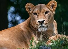 Löwin im Zoo Straubing (fuchs_ernst) Tags: nikon nikonobjektiv niederbayern löwe tele tiergarten tiere straubing zoo