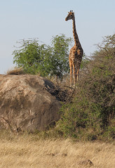 On The Lookout - Part 3 (AnyMotion) Tags: giraffe giraffacamelopardalis climbing kletternd kopje felsformation felseninsel savannah savanna savanne rock felsen landscape landschaft lookout 2015 anymotion morukopjes serengetinationalpark tanzania tansania africa afrika travel reisen animal animals tiere nature natur wildlife 7d2 canoneos7dmarkii ngc npc