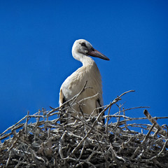 Big Baby (MrBlueSky*) Tags: stork bird nest wildlife nature colour comporta alentejo portugal kingdomanimalia travel canon canoneos canonm6