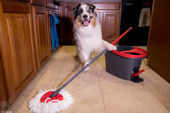 30/52 Floors so clean you could eat off them (because he often does 😜) (Jasper's Human) Tags: aussie australianshepherd 52weeksfordogs 52wfd mop domestichelp workingdog