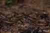 Black-necked delma (Delma tincta) (Jari Cornelis) Tags: delma legless lizard animal charters towers gecko australia queensland
