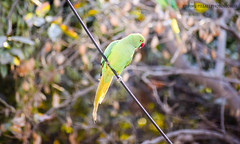 Finding a friend! (vpphotostories) Tags: animal bird parrot trees green zoom blur nikon dslr photography abstract wildlife hobby life love beauty detail pattern design india delhi newdelhi wire single pose