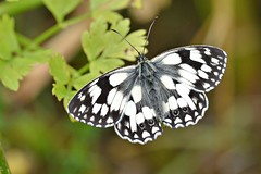 Marbled White (Melanargia galathea) (Andrew Cooper 2017) Tags: animal animals butterfly butterflies beautiful closeup close colour colourful closeupphotography dorset detail detailed details england green geotagged geotag grassland insect july leaf macro macrophotography nature photography pattern summer texture tags uk wildlife wildlifephotography wild wings black blackandwhite