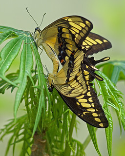 Giant swallowtails in love