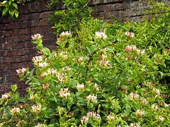Honeysuckle (Cornishcarolin. Stupid busy!! xx) Tags: cornwall trelissickgardensnt nationaltrust climbingplants honeysuckle flowers plants nature perfume scent scentedplants