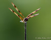 Halloween Pennant (BFS Man) Tags: brazosbend halloweenpennant texas dragonfly insect statepark