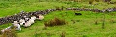 Herdershond aan het werk