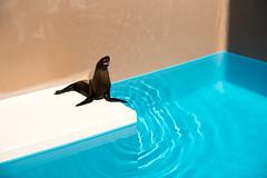 Hot summer sea lion (Yuta Ohashi LTX) Tags: hot summer sealion water aquarium 水族館 あしか アシカ 海驢 水 波紋 日本 茨城 大洗 夏バテ 猛暑サマー japan ooarai ibaraki ripple pool プール