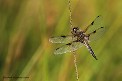 AN5A0117 (Puce55-Elisabeth,) Tags: libellule animal nature wildlife exterieur