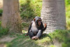 His hand. (Alexandra Rudge. Wishing you happiness!!!) Tags: alexandrarudge alexandrarudgephotography alexandrarudgeimages animales animalia animals alexandrarudgeanimals zoologico zoo zoologicodecalifornia zoologicodelosangeles losangeleszoo alexandrarudgelosangeleszoo losangeleszooanimals chordata fauna nature naturaleza mammalia mamifero primates primate haplorhini hominidae panina pan chimpanzee juvenilechimpanzee pantroglodytes chimps chimpance apes apesbycommonname megafaunaofafrica primatesofafrica losangeleszoochimpanzee knucklewalkape knucklewalk omnivorous endangeresspecies