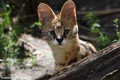 Young Serval - Zie-Zoo (Mandenno photography) Tags: dierenpark dierentuin dieren animal animals olmense olmensezoo olmen belgie belgium bigcat cat serval