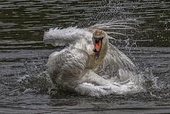 _DSC4181 Happiness is.... (Rattyman76) Tags: swan bathing preening