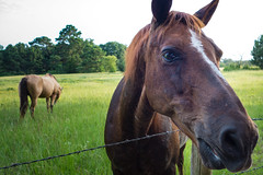 Meet Dandy (Josh Willis) Tags: horse field barbed wire texas