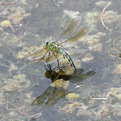 Ovipositing Empress! (RiverCrouchWalker) Tags: anaximperator emperordragonfly dragonfly insect invertebrate july 2017 summer lake ovipositingempress ovipositing rhs rhshydehall rettendon essex