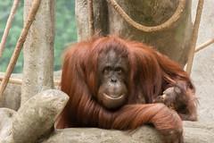 Sofia @Brookfield Zoo ([bendersama]) Tags: canon eos80d eos 80d ef ef70200mmf4usml 70200mm f4 l illinois brookfield zoo chicago primates apes blackandwhite blackwhitephotography bw adobe lightroomcc asia orangutan sofia zoosofnorthamerica
