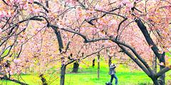 IMG_0751ad1web (sabine_in_singapore) Tags: newyork nyc centralpark cherry blossom kirschblüte travel panorama