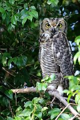 great horned owl (barbara carroll) Tags: greathornedowl owl tucsonarizona bubovirginianus desertbirds arizona sonorandesert