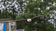 D97A0751 (yapaphotos) Tags: puy du fou pygargue à tête blanche haliaeetus leucocephalus bald eagle