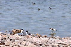 Migratory bird meet up: Franklin Gulls, American Avocet, and Red-necked Phalaropes (Great Salt Lake Images) Tags: summer morning causeway migratorybirds greatsaltlake utah