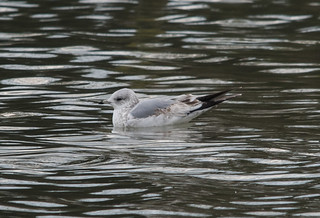 common gull 1st winter (Larus canas)